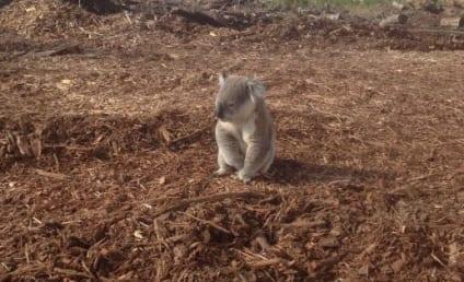 Koala Photo Shows Home Destroyed By Loggers, Animal's Heartbreak