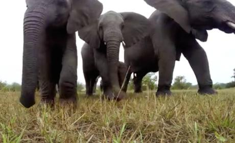 Elephants Confront GoPro, Act Very Confused