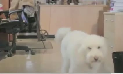 Bo Obama Proposal: Goldendoodle Asks First Dog to Marry Her, Attend Fundraiser