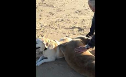 Seal Cuddles with Dog on the Beach, Refuses to Let New Friend Go