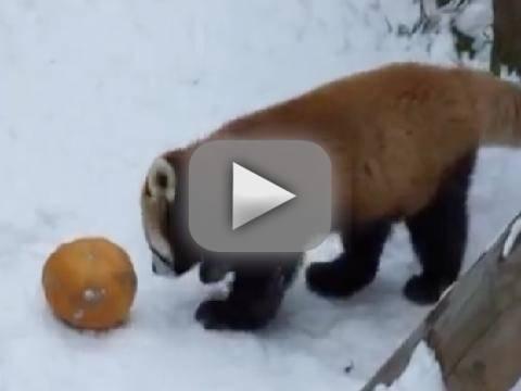 Red Panda Plays With Pumpkin