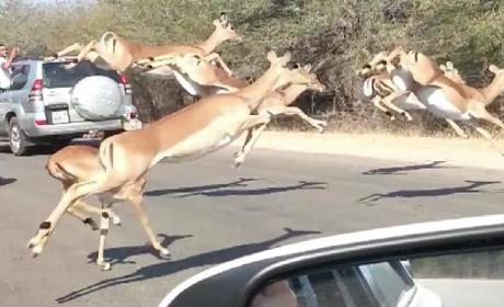 Impala Escapes Cheetah By Jumping Into Tourist's Car in South Africa