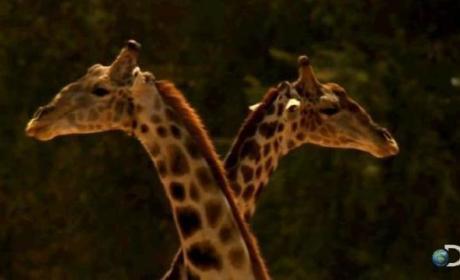 Violent Giraffe Fight: Caught on Camera!