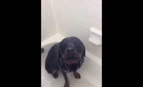 Rottweiler Adores the Shower