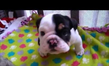 Bulldog Has Half a Body, All the Cuteness