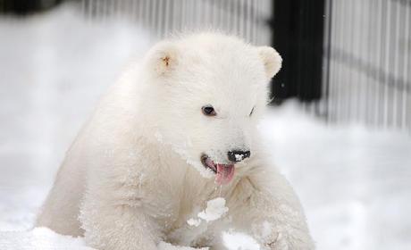 Baby Polar Bear Orphaned, Turned in to Alaska Zoo