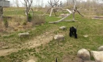 Goose Attacks Gorilla: Caught on Tape! Awesome!