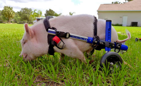 Pig in a Wheelchair Signs Major Book Deal