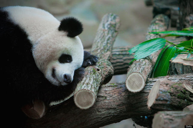 One tired panda