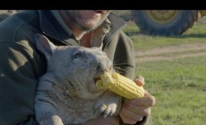 Wombat Farts, Eats Corn in Violent Fashion