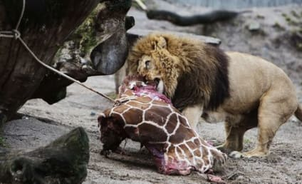 Healthy Giraffe Fed to Lions in Denmark Zoo; Facility Receives Deluge of Threats