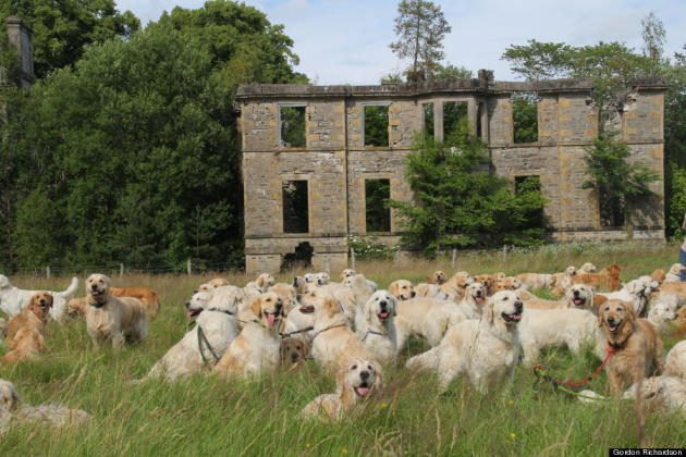 Golden Retrievers in Scotland