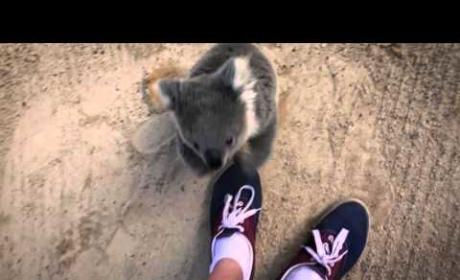 Frightened Koala Asks for Hug, Is Cutest Animal EVER