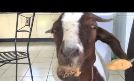 Goat Eats Peanut Butter, Mesmerizes the Internet