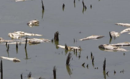 Thousands of Dead Fish Surface in Midwest
