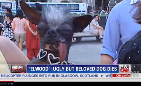 Beloved Ugly Dog Elwood Died