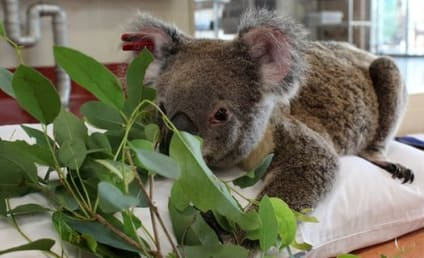 Koala Chlamydia Threatening Entire Species: WTH?!