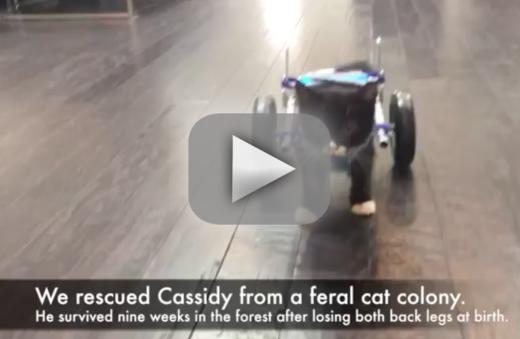 Two legged cat walks with wheelchair inspires all