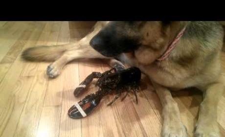 Dog Protects Pet Lobster