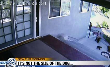 Brave French Bulldog Runs Hulking Bears Off Property