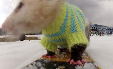 Snowboarding Opossum Hits Slopes Like a Pro