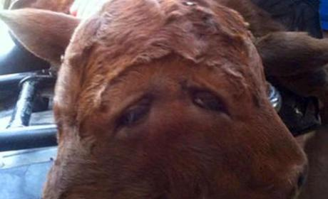 Calf Born with Two Heads: WHOA!!!