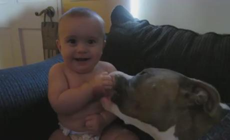 Pit Bull Gives Baby Total Body Tongue Bath: Watch, Melt Now!