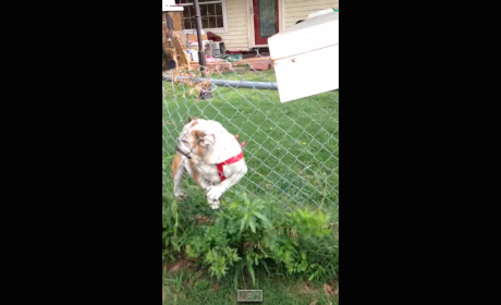 Fence Thwarts Dog's Attempt to Attack Mailman: CRASH!