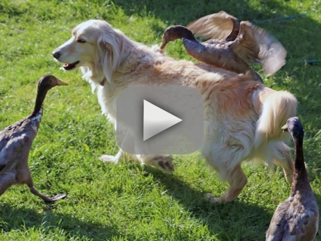Ducks Really Love Dog