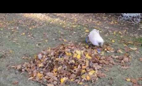 Pig Encounters First-Ever Pile of Leaves, Goes BESERK