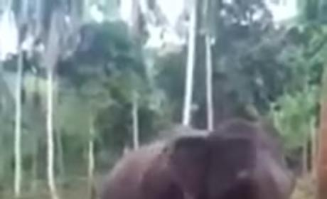 Elephant Lays Smackdown on Over-Aggressive Human