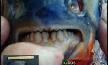 Testicle-Eating Fish: Found in New Jersey!