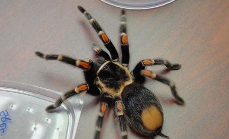 Face-Sized Tarantula: Discovered in Sri Lanka!