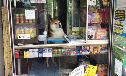 Shiba Inu Runs Bodega in Japan: No, Really!!!
