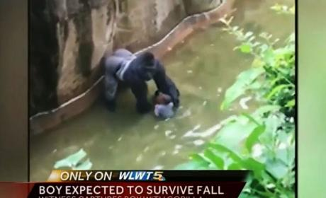 Endangered Gorilla Killed to Save Toddler's Life: Who's to Blame?