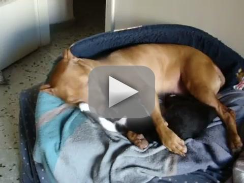 Cat Gives Pit Bull Massage