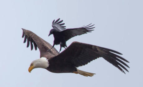 Crow Takes Patriotic Ride Atop Eagle