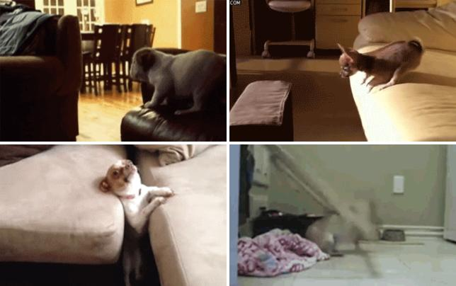24 times dogs have hilariously failed at life here i come couch