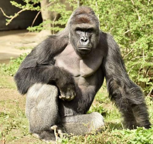 Cincinnati Zoo Deletes Twitter Account Due to Harambe Memes