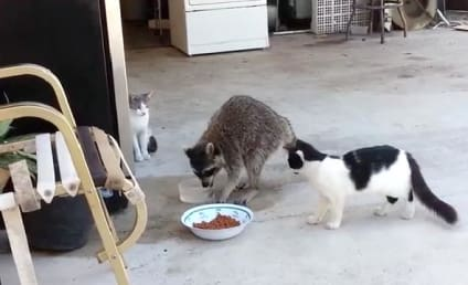Raccoon Eats, Steals Cats' Food in Hilarious Escape