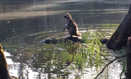 Florida Man Photographs Raccoon Riding an Alligator