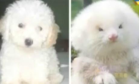 Ferret vs. Dog