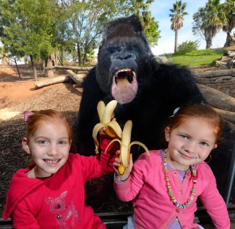 Teasing the Gorilla