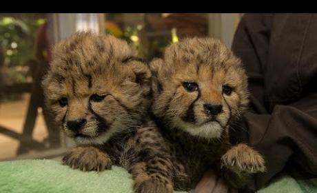Cheetah Cub Sisters Born in San Diego
