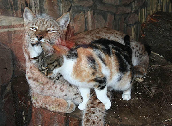 Cat and Lynx
