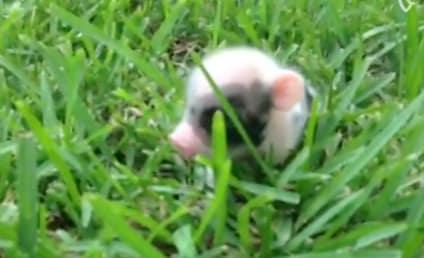 Piglet Bounds Through Grass, Makes the World a Better Place