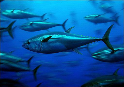 B'fin Tuna