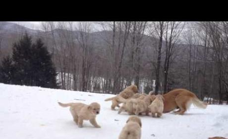 Golden Retriever Puppies Play in Snow!!!!!!!!