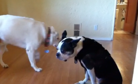 Dog Rides Roomba, Terrifies Furry Friends