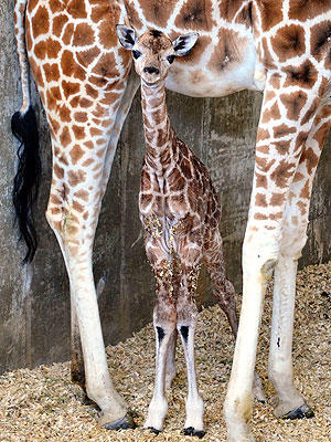 Sandy Hope (Baby Giraffe)